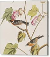 Bay Breasted Warbler Canvas Print