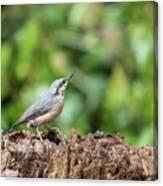 Beautiful Nuthatch Bird Sitta Sittidae On Tree Stump In Forest L Canvas Print