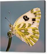 Becker's White Butterfly Canvas Print