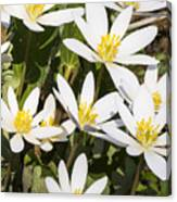 Bloodroot Flowers 2 Canvas Print