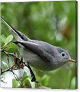 Blue-gray Gnatcatcher Canvas Print