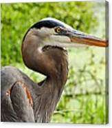 Blue Heron Heads Up Canvas Print
