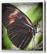 Brush-footed Butterfly Canvas Print