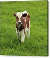 Calf In A Pasture Canvas Print