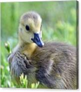 Canadian Goose Chick Canvas Print