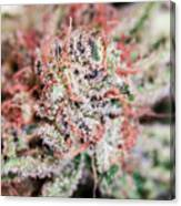 Cannabis Macro Canvas Print