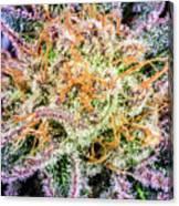 Cannabis Varieties Canvas Print