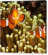 Clown Anemonefish Canvas Print