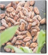 Cocoa Beans Canvas Print