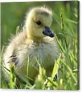 Cute Baby Goose Canvas Print