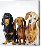 Dachshund Pack  Canvas Print