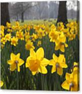 Daffodils In St James Park London Canvas Print