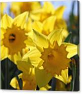 Daffodils In The Sunshine Canvas Print