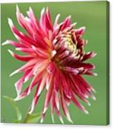 Dahlia Named Akita Canvas Print