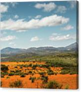 Daisies Blooming In Namaqualand 2 Canvas Print