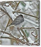 Dark-eyed Junco - Snowbird Canvas Print