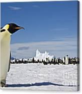 Emperor Penguin Canvas Print