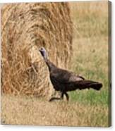 Female Eastern Wild Turkey Canvas Print