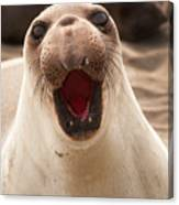 Female Northern Elephant Seal Mirounga Angustirostris Canvas Print