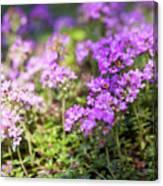 Flowering Thyme Canvas Print