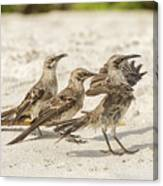 Galapagos Hood Mockingbird Canvas Print