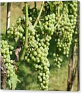 Grapevine Canvas Print