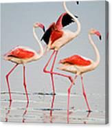 Greater Flamingos Phoenicopterus Roseus Canvas Print