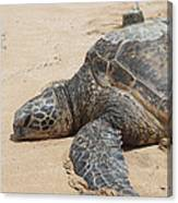 Green Sea Turtle With Gps Canvas Print