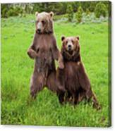Grizzly Bear Arctos Ursus Canvas Print