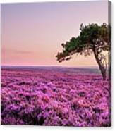 Heather At Sunset  Canvas Print