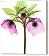 Hellebore Flowers, X-ray Canvas Print