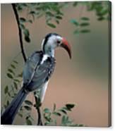 Hornbill In Kenya Canvas Print