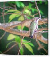 Hummingbird Found In Wild Nature On Sunny Day Canvas Print