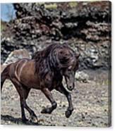 Icelandic Black Stallion, Iceland Canvas Print