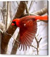 Img_0001 - Northern Cardinal Canvas Print