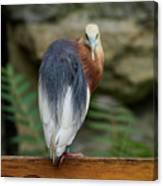 Javan Pond Heron At Zoo Berlin Canvas Print