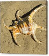 Lambis Arthritica Spider Conch Canvas Print