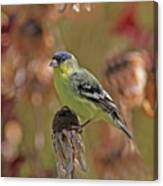Lesser Goldfinch Canvas Print