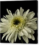 Leucanthemum Highland White Dream Canvas Print