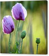 Lilac Poppy Flowers Canvas Print