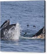 Lunge-feeding Humpback Whales Canvas Print