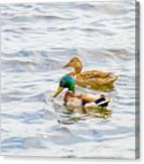 Male And Female Ducks Canvas Print