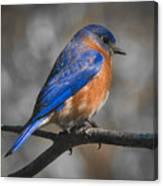 Male Eastern Bluebird Canvas Print