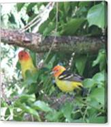 2 Male Western Tanagers Canvas Print