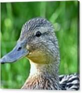 Mallard Duck Hen Canvas Print