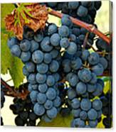 Marechal Foch Grapes Canvas Print