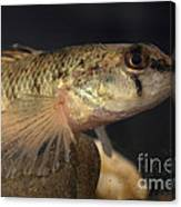 Mobile Logperch Percina Kathae Canvas Print