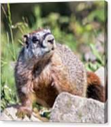 Mr. Marmot Canvas Print