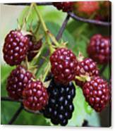 My Blackberries Canvas Print