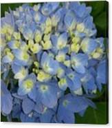 My Blue Hydrangeas Canvas Print